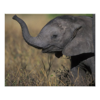 Botswana, parque nacional de Chobe, elefante joven Póster