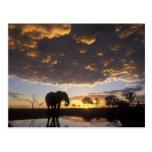 Botswana, parque nacional de Chobe, elefante Tarjetas Postales