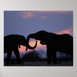 Botswana, parque nacional de Chobe, elefantes Póster