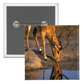Botswana parque nacional de Chobe impala de Bull Pins