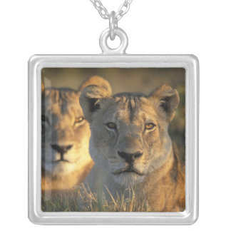 Botswana, parque nacional de Chobe, leonas Colgante Cuadrado
