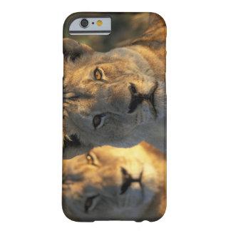 Botswana, parque nacional de Chobe, leonas Funda De iPhone 6 Barely There