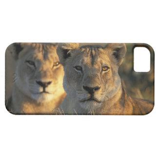 Botswana, parque nacional de Chobe, leonas Funda Para iPhone 5 Barely There
