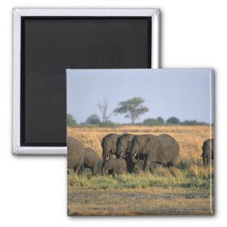 Botswana, parque nacional de Chobe, manada del ele Imán Cuadrado