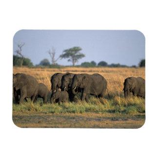 Botswana, parque nacional de Chobe, manada del ele Imanes Flexibles