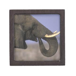 Botswana, reserva del juego de Moremi, elefante de Cajas De Regalo De Calidad