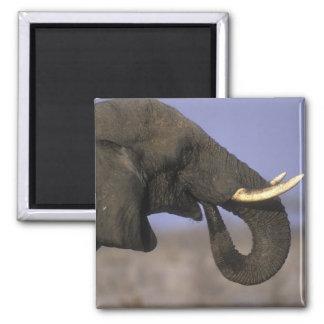 Botswana, reserva del juego de Moremi, elefante de Imán Cuadrado