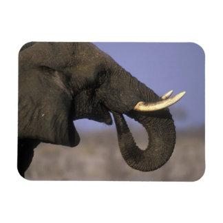 Botswana, reserva del juego de Moremi, elefante de Imanes Flexibles