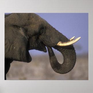 Botswana, reserva del juego de Moremi, elefante de Posters