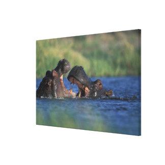Botswana, reserva del juego de Moremi, Hippopotami Impresión De Lienzo