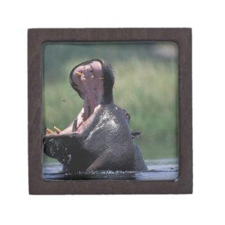 Botswana, reserva del juego de Moremi, Hippopotamu Caja De Recuerdo De Calidad