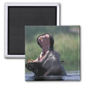Botswana, reserva del juego de Moremi, Hippopotamu Imán Cuadrado