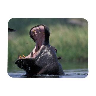 Botswana, reserva del juego de Moremi, Hippopotamu Imán Foto Rectangular