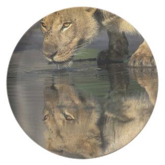 Botswana, reserva del juego de Moremi, leona (Pant Plato De Comida