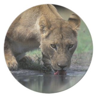 Botswana, reserva del juego de Moremi, leona (Pant Platos
