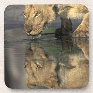 Botswana, reserva del juego de Moremi, leona (Pant Posavasos De Bebida