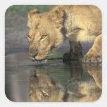 Botswana, reserva del juego de Moremi, leona Calcomanía Cuadradas Personalizadas