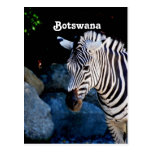 Botswana Zebra Postcard