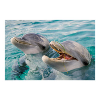 Bottle Nosed Dolphins Poster