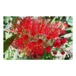 Bottlebrush Flower Red Floral Photography Poster