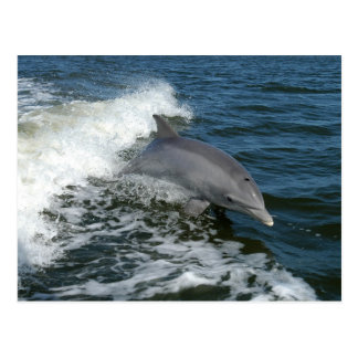 bottlenose dolphin photo postcard