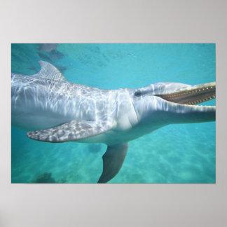 Bottlenose Dolphin Tursiops truncatus), 2 Poster