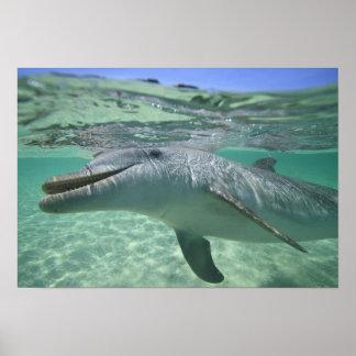 Bottlenose Dolphin Tursiops truncatus), 3 Poster