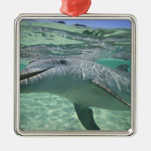 Bottlenose Dolphin Tursiops truncatus), 3 Square Metal Christmas Ornament