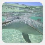 Bottlenose Dolphin Tursiops truncatus), 3 Square Sticker