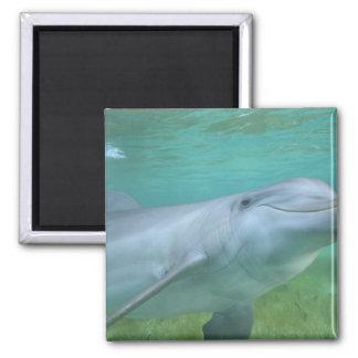 Bottlenose Dolphin Tursiops truncatus Fridge Magnet