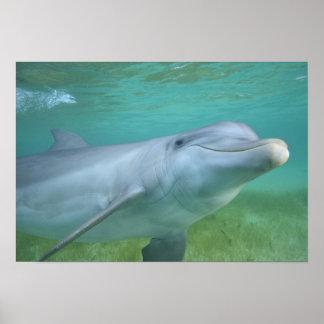 Bottlenose Dolphin Tursiops truncatus), Poster