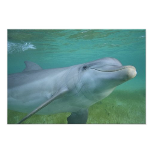 Bottlenose Dolphin Tursiops truncatus), Posters