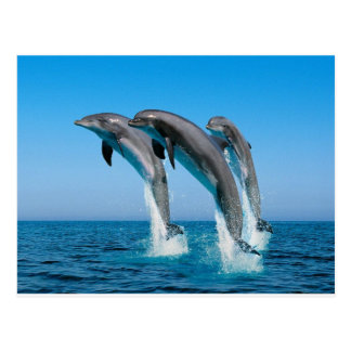 bottlenose dolphins jumping out of clear blue sea post cards
