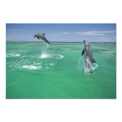 Bottlenose Dolphins Tursiops truncatus) 10 Photo Print