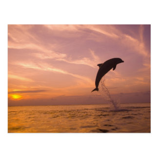 Bottlenose Dolphins Tursiops truncatus) 10 Postcard