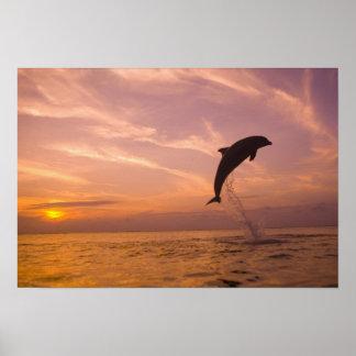 Bottlenose Dolphins Tursiops truncatus) 10 Print