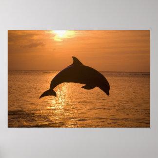 Bottlenose Dolphins Tursiops truncatus) 11 Poster