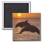Bottlenose Dolphins Tursiops truncatus) 12 2 Inch Square Magnet
