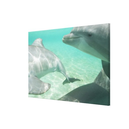 Bottlenose Dolphins Tursiops truncatus) 12 Canvas Print
