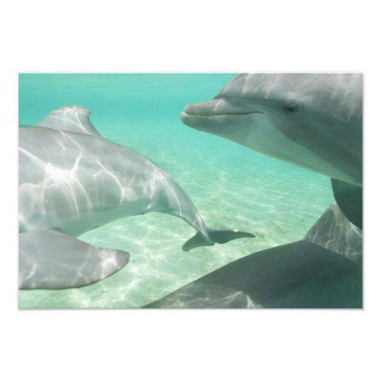 Bottlenose Dolphins Tursiops truncatus) 12 Photo Print