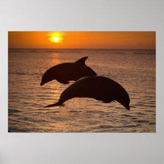 Bottlenose Dolphins Tursiops truncatus) 12 Poster