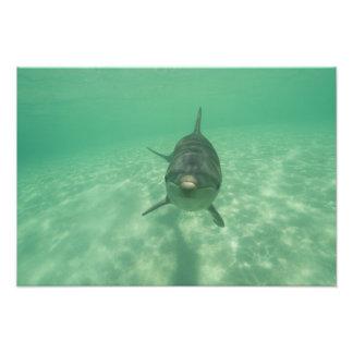 Bottlenose Dolphins Tursiops truncatus) 13 Photo Print