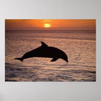 Bottlenose Dolphins Tursiops truncatus) 13 Poster
