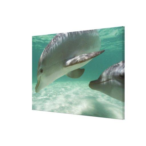 Bottlenose Dolphins Tursiops truncatus) 15 Stretched Canvas Prints