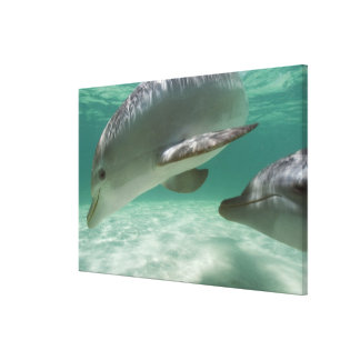 Bottlenose Dolphins Tursiops truncatus) 15 Canvas Print