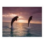 Bottlenose Dolphins Tursiops truncatus) 15 Postcard