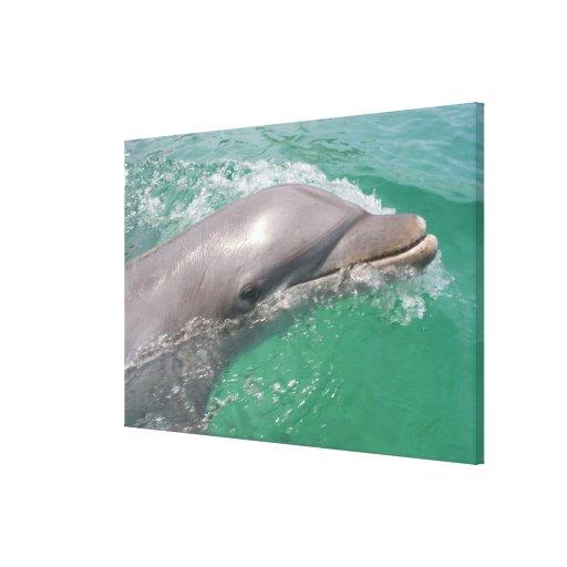 Bottlenose Dolphins Tursiops truncatus) 16 Stretched Canvas Prints