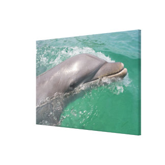 Bottlenose Dolphins Tursiops truncatus) 16 Canvas Print