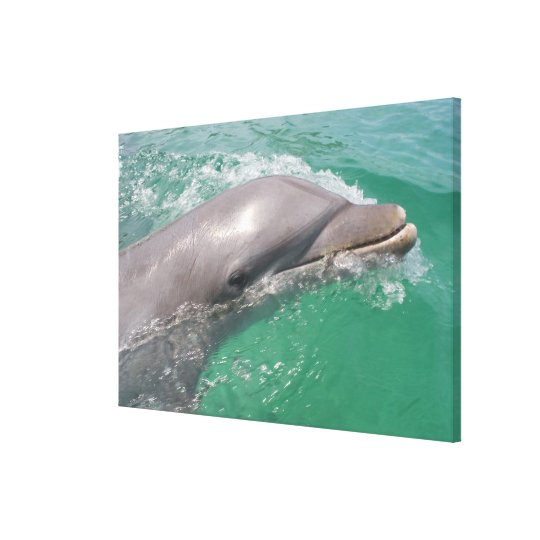 Bottlenose Dolphins Tursiops truncatus) 16 Canvas Print