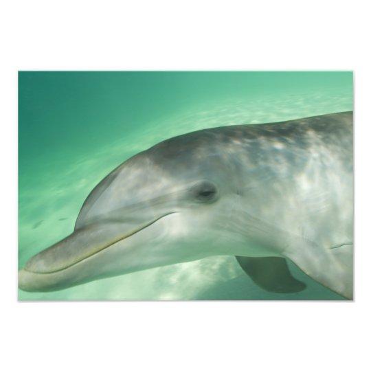 Bottlenose Dolphins Tursiops truncatus) 16 Photo Print